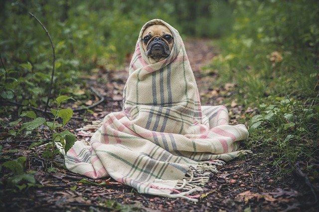 curso-de-adestramento-de-cães-pug